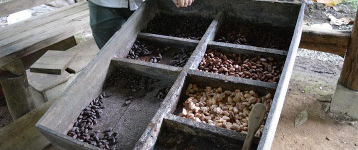 Rainforest Chocolate Tour graines café