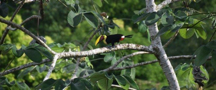 La Ceiba Bosque Primario Tours (Centro de Rescate Jaguar) - Toucan