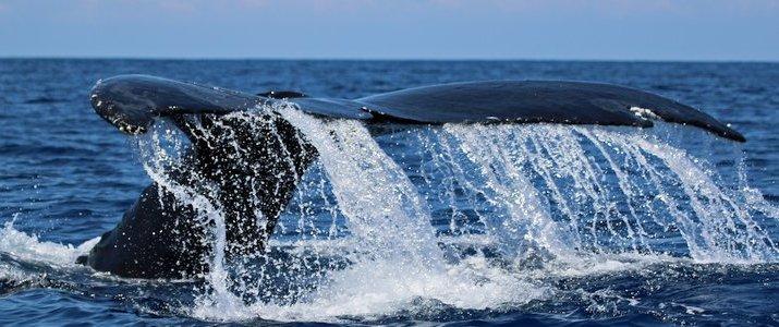 The Divine Dophin queue de baleine