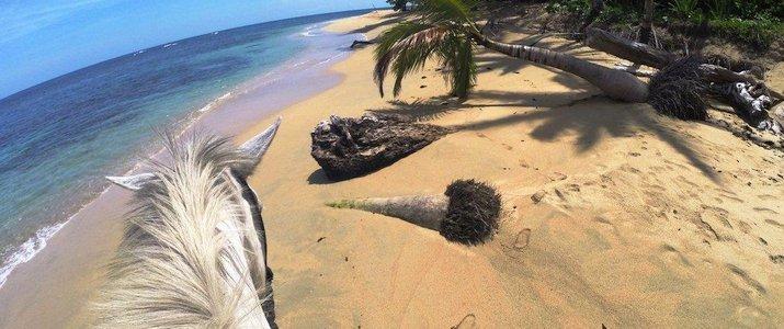 The Prancing Pony Caraïbes Sud Punta Uva Balade Cheval blanc crinière ocean plage palmiers