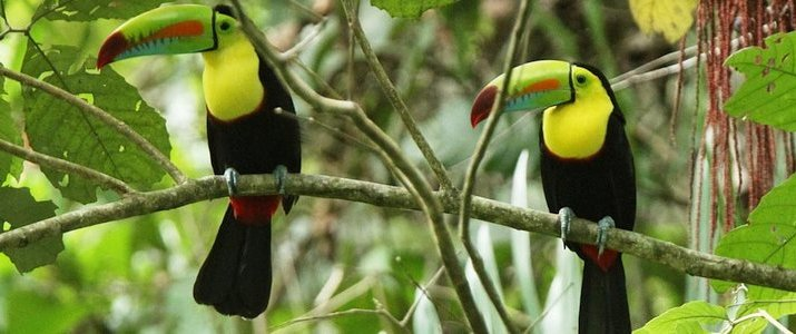 Kenry Tours Caraïbes Sud Cahuita Parc Jungle - Toucans