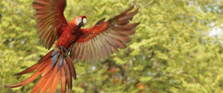 Sanctuario de Lapas NATUWA Pacifique Centre Aranjuez observation d'animaux aras rouge