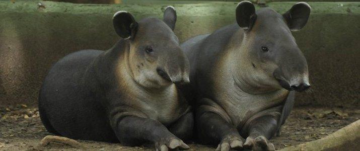 Sanctuario de Lapas NATUWA Pacifique Centre Aranjuez observation d'animaux tapirs