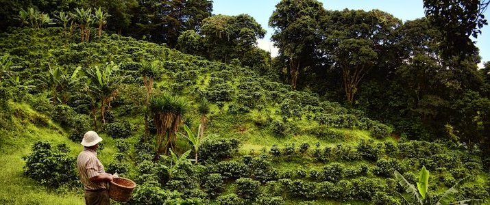 Café de Monteverde Forêt de Nuage Santa Elena Plantation