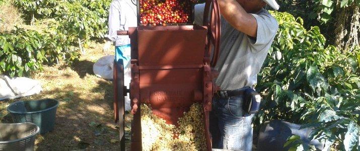Café de Monteverde Forêt de Nuage Santa Elena Triage Grains