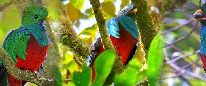 Curi-Cancha Reserve Monteverde Santa Elena Forêt de Nuages Ornithologie Quetzals Oiseaux faune flore