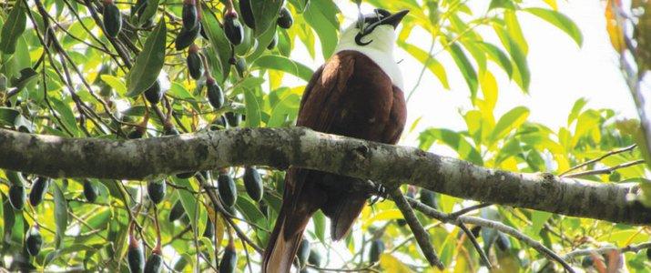Santuario Ecologico Ecological Sanctuary Monteverde Santa Elena Rain Forest Forêt de Nuages Oiseau Araponga tricaronculé