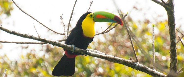 Santuario Ecologico Ecological Sanctuary Monteverde Santa Elena Rain Forest Forêt de Nuages Toucan Oiseau