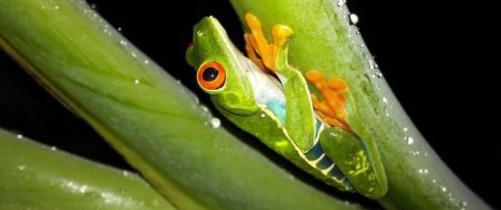 Frog's Paradise Bijagua grenouille verte aux yeux rouges