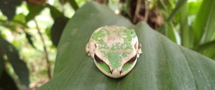 Frog's Paradise Bijagua Reptile Serpent