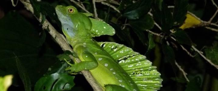 Frog's Paradise Bijagua Reptile Basilic