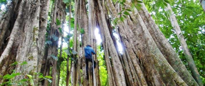 forêt, rappel, jungle, sécurité, arbre, corcovado, osa, puerto Jimenez, activité, costa rica