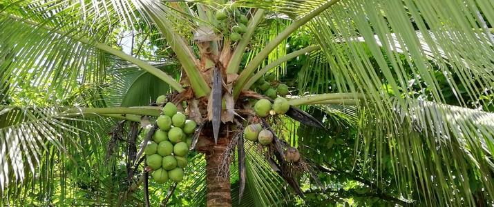 Tour de Coco - cocotier