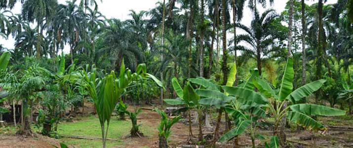 Palmitour plantation