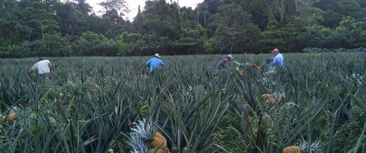 Finca Sura Puerto Viejo de Sarapiqui récolte d'ananas
