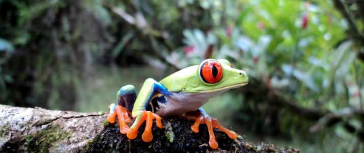 Frog's Heaven Puerto Viejo de Sarapiqui grenouille verte aux yeux rouges