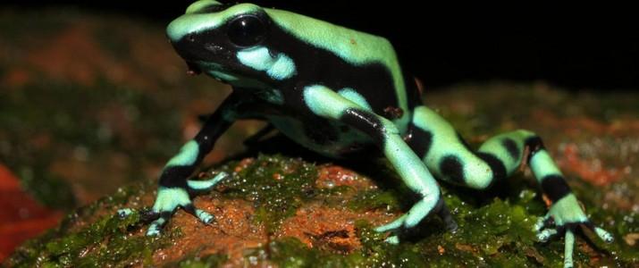 Frog's Heaven Puerto Viejo de Sarapiqui grenouille verte et noire