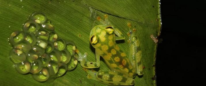 Frog's Heaven Puerto Viejo de Sarapiqui grenouille