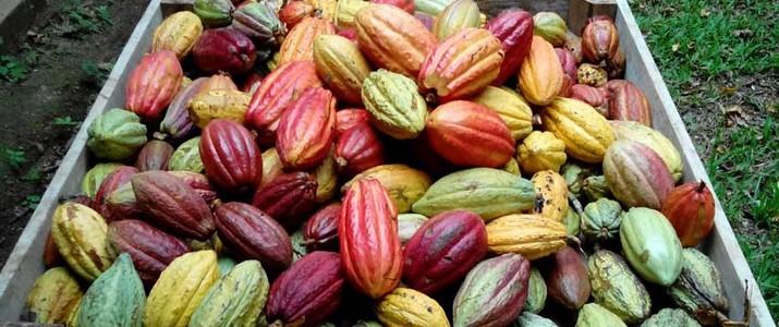 Best Chocolate Puerto Viejo de Sarapiqui Cabosse
