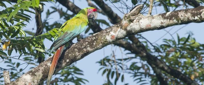 Ibis Nature Tours Puerto Viejo de Sarapiqui Ara vert