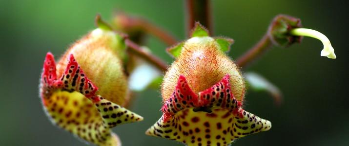 Jardin botanique Wilson station biologique las cruces san vito fleur