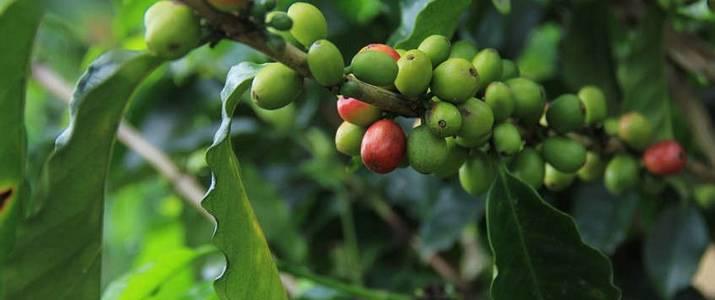 CATIE Café Plantation