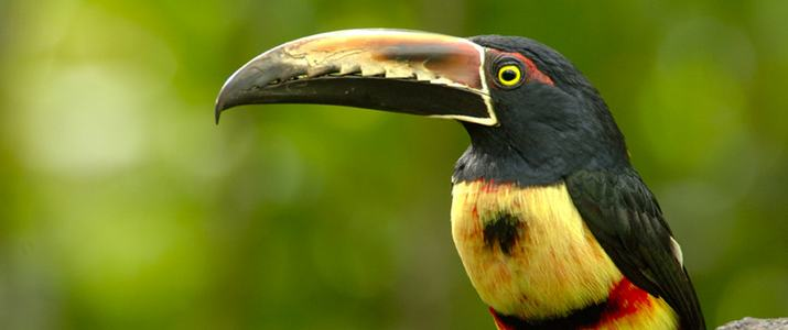 Selva Verde Toucan Faune Oiseaux