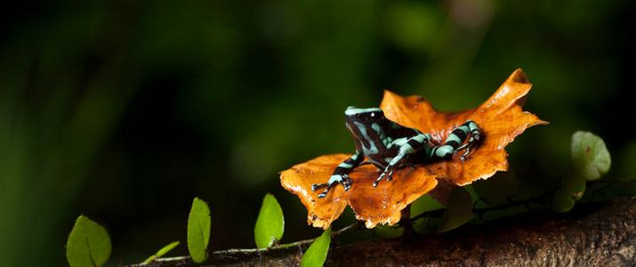 Selva Verde Faune Grenouille Amphibiens