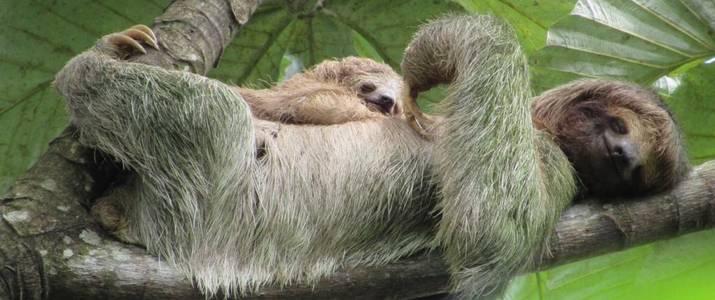 Sloth Territory Paresseux