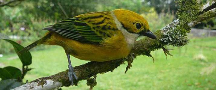 Albergue el Socorro oiseau jaune