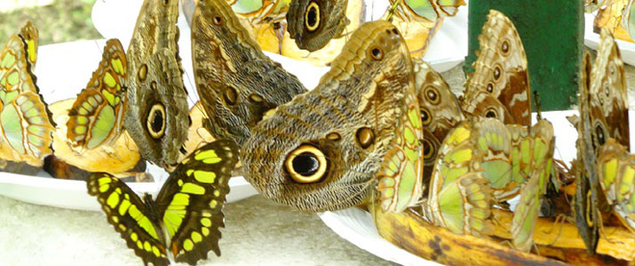 Cabo Blanco Butterfly Farm papillon