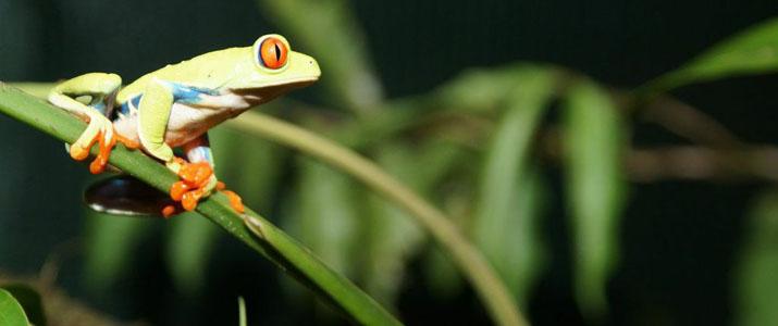 Rainforest Adventures Atlantic grenouille