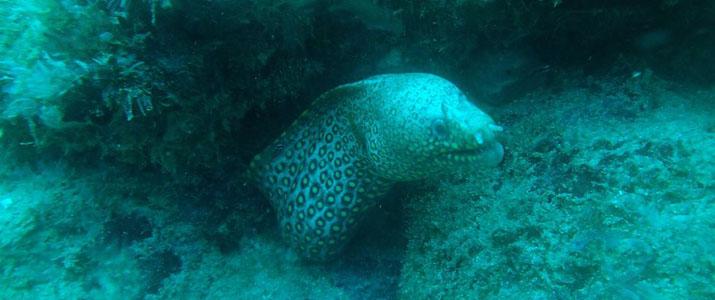Drake Divers 2 Alt murene