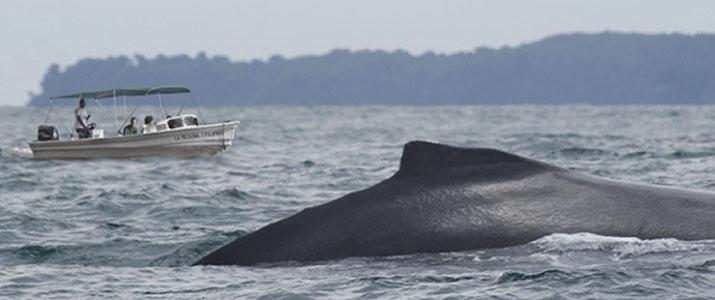 La Picolina 1 Alt baleine