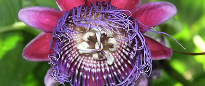 La Picolina 3 Alt fleur flore
