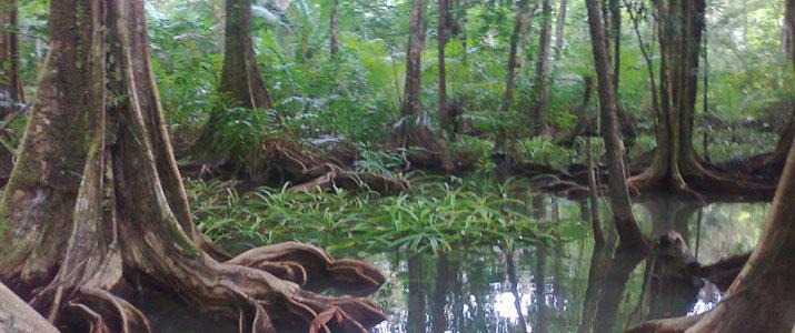 Corcovado Dreams  1 Alt mangrove