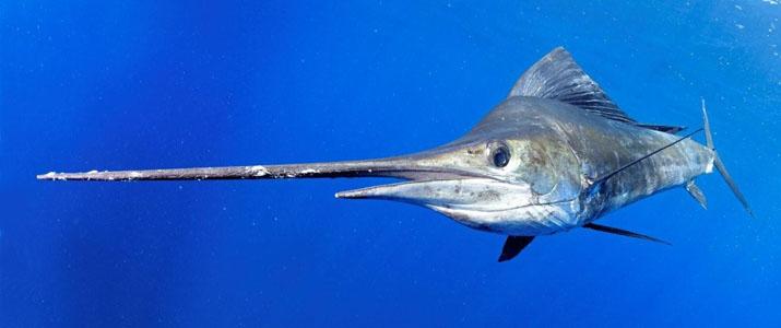 Alt 2 pêche poisson mer espadon