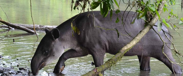 Osa Services 4 Alt tapir