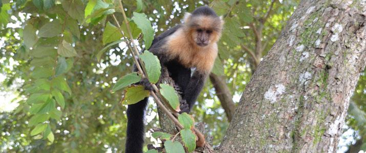 Hacienda Nosavar singe