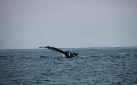 Saison des baleines juillet océan mer